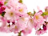 Kurschblüte